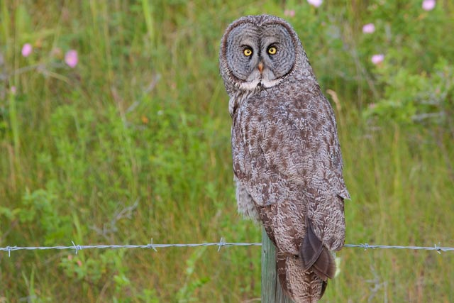 great grey owl on a post