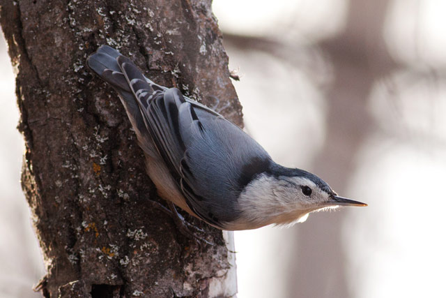 white breasted nuthatch on a tree