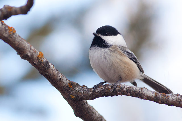 black-capped-chickadee-on-a-branch