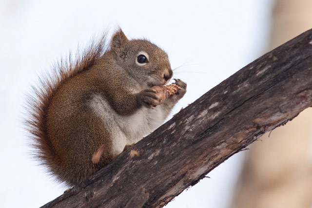 squirrel eating a pine cone photo