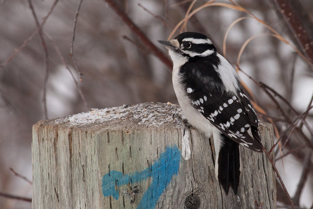 female downy woodpecker post photo