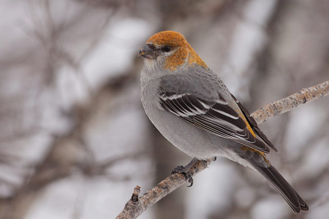 female pine grosbeak photo