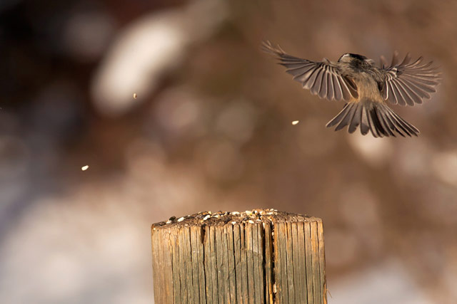 black capped chickadee in flight photo