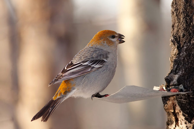 female pine grosbeak on a feeder photo