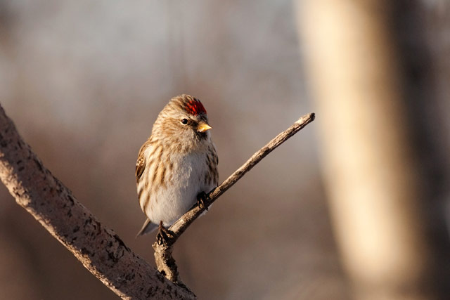redpoll on a branch photo