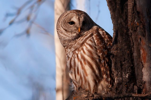 barred owl waking up photo