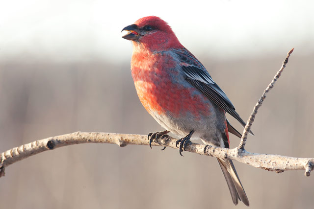 singing pine grosbeak photo
