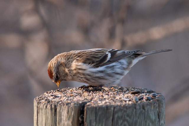 common redpoll staring down photo