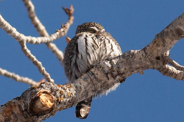 northern pygym owl in fish creek photo