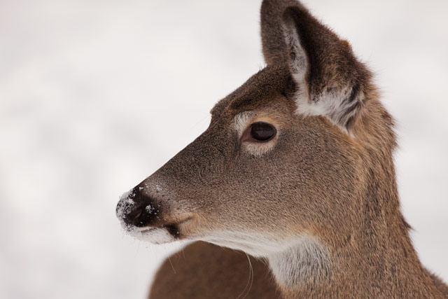whitetail yearling in fish creek photo