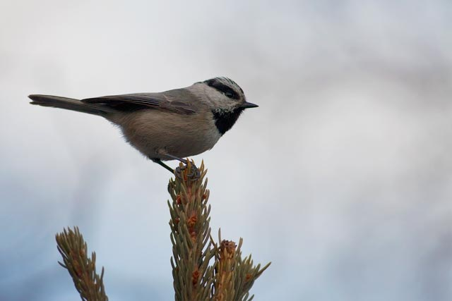 mountain chickadee atop a tree photo