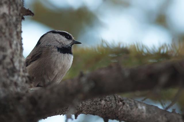 red breasted nuthatch in a pine tree photo