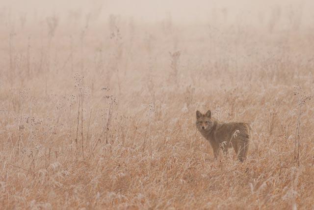coyote in the fog photo
