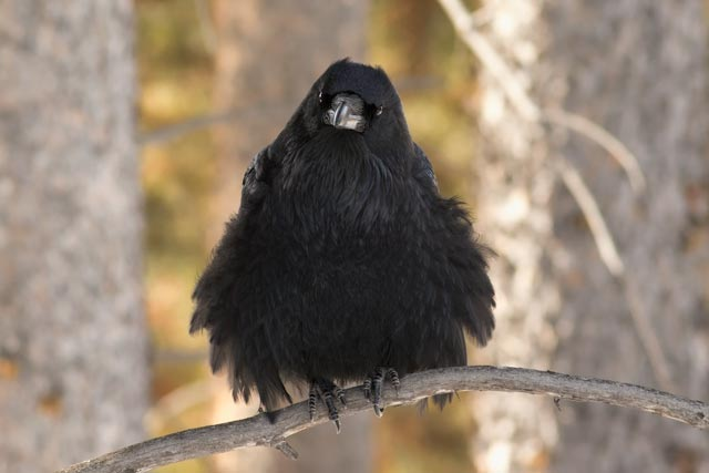 fluffed up raven photo