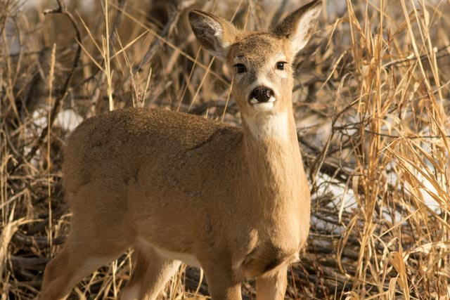 young whitetail deer photo