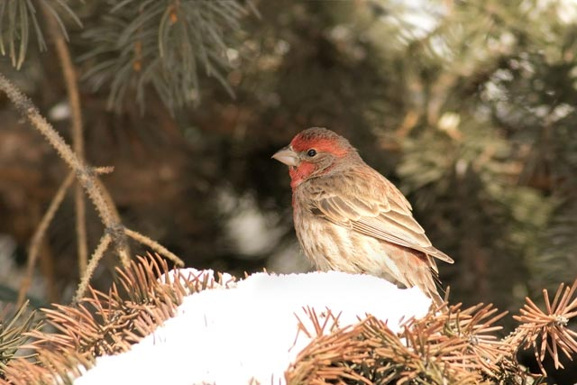 house finch in the pines photo