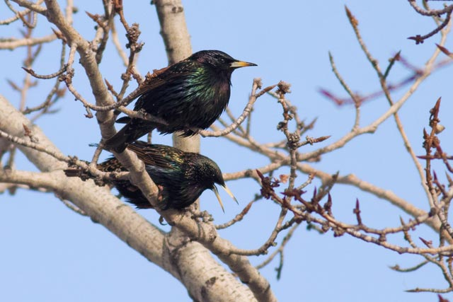 starlings in a branch photo