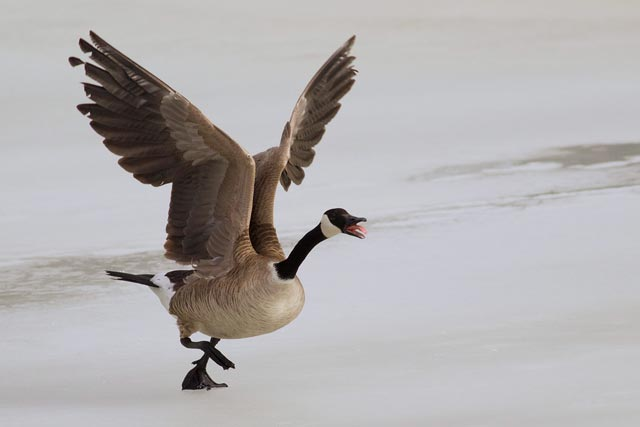 canada goose taking off photo