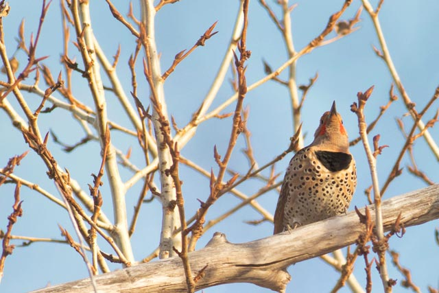 northern flicker in budding branches photo