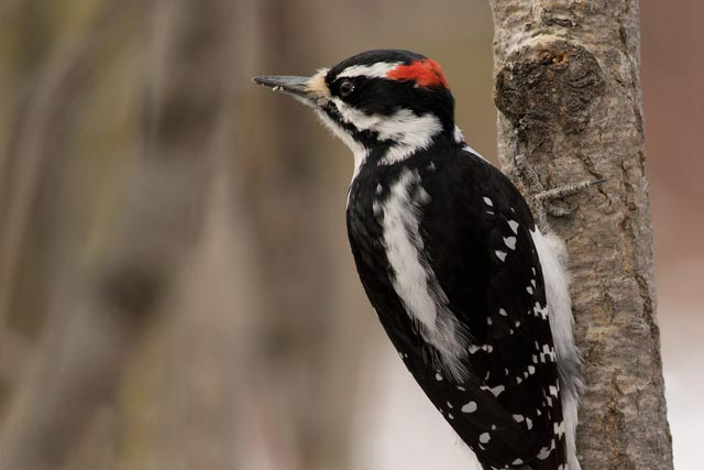 hairy woodpecker hanging from a branch photo