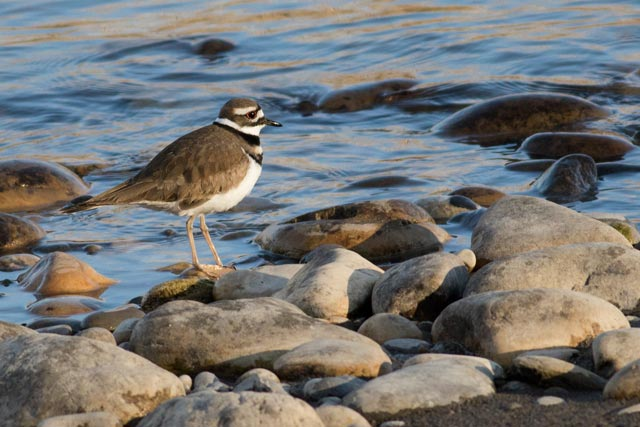 bow river killdeer on photo