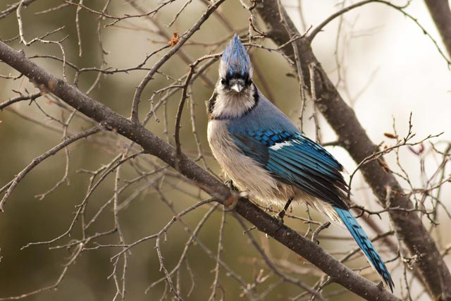blue jay crown on photo