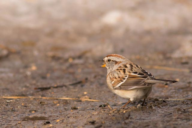 american tree sparrow on the ground photo