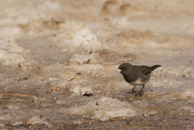 dark eyed junco in the snow photo