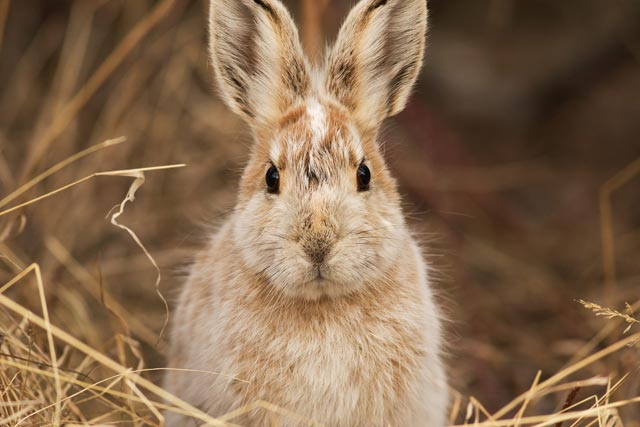 snowshoe hare changing colour photo