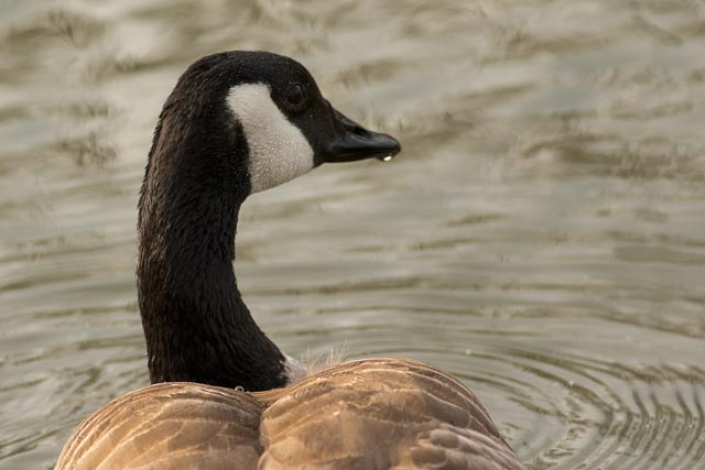 canada goose close up photo