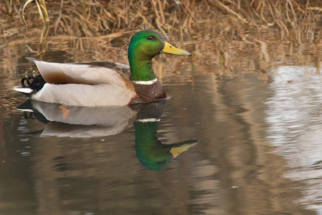 super green mallard photo