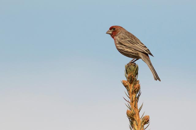 male house finch photo