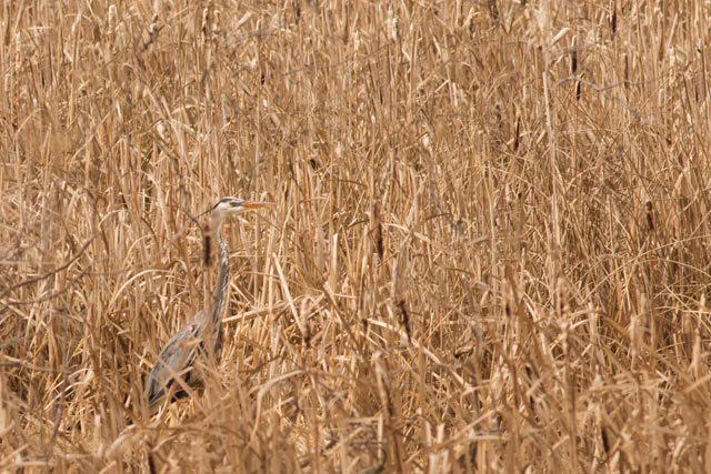 great blue heron in cattails photo