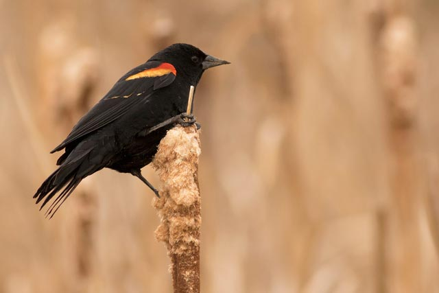 red-winged blackbird on a cattail photo