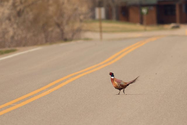 why did the chicken cross the road photo