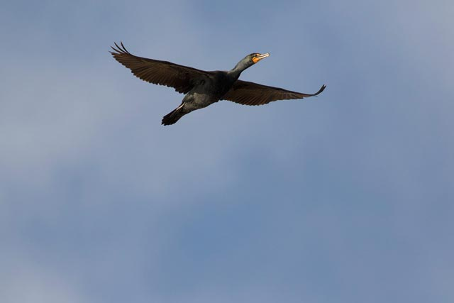 double crested cororant in flight photo