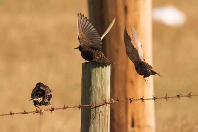 european starlings jetting photo