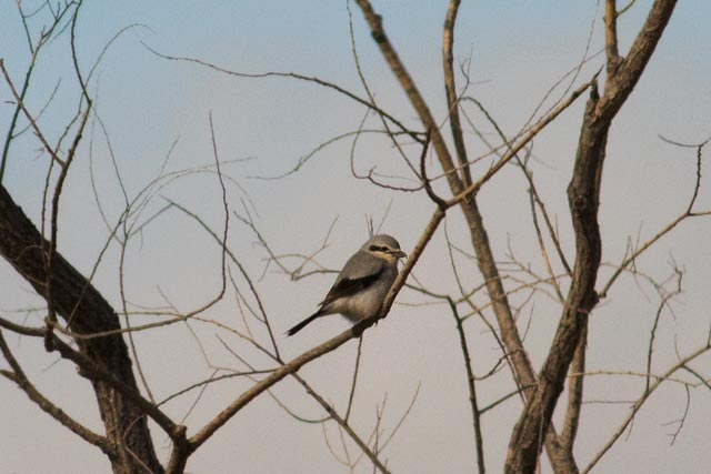 northern shrike at a distance photo