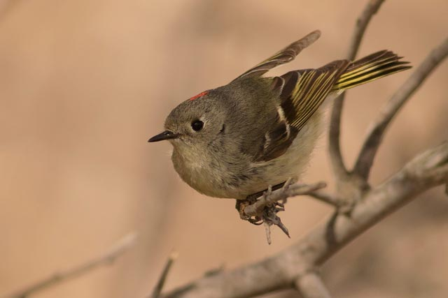 ruby-crowned kinglet in close photo
