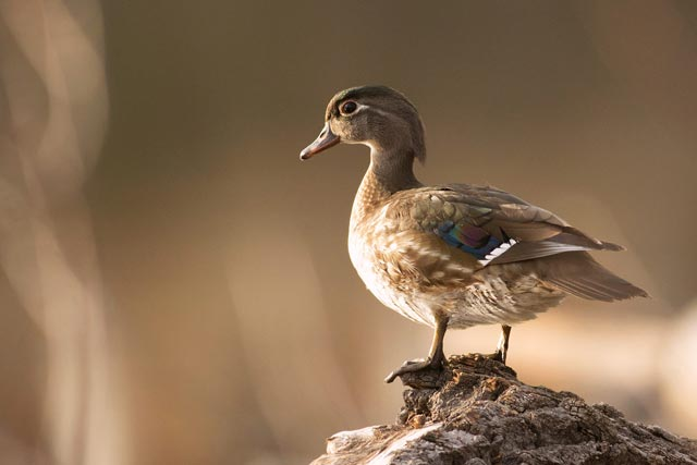 female wood duck photo