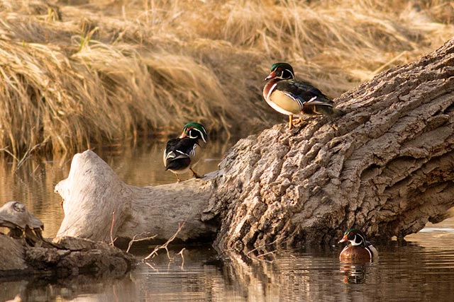 five wood ducks photo