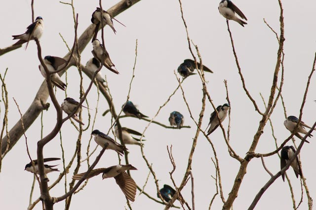 tree swallows in a tree photo