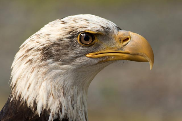 captive bald eagle face photo