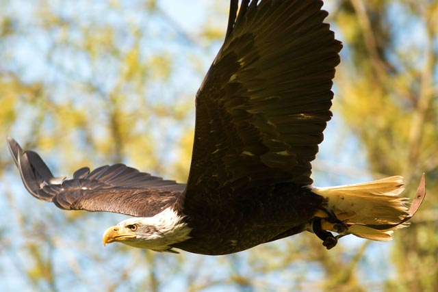 captive bald eagle in flight photo