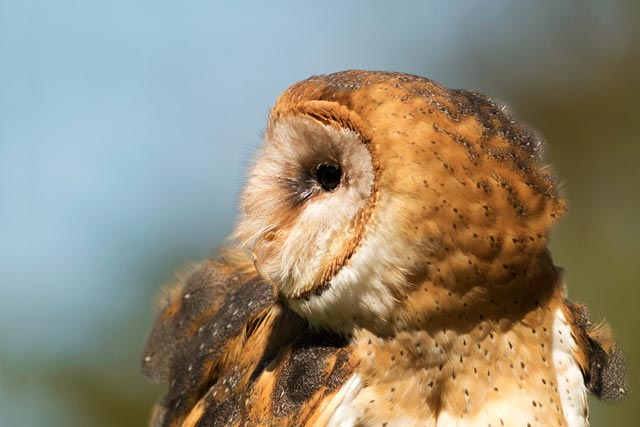 captive barn owl photo