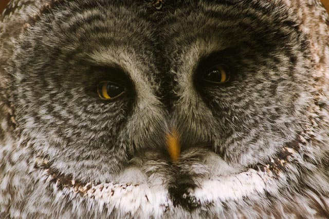 captive great-grey owl photo