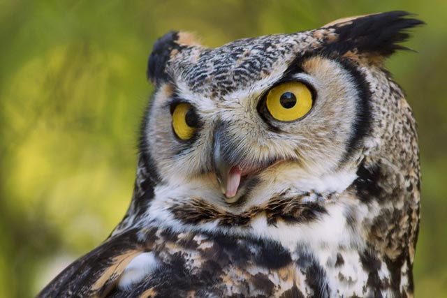 captive great-horned owl screeching photo