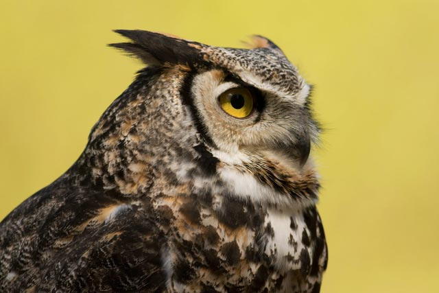 captive great-horned owl photo