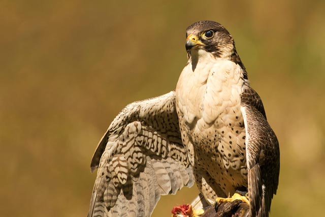 captive gyr-peregrine falcon photo
