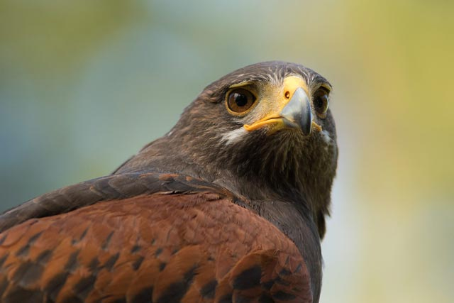 captive harris hawk photo